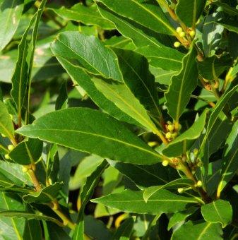 Снимка Дафинов лист  /Laurus nobilis/...