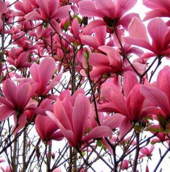 Снимка Магнолия Галакси / Magnolia Galaxy / 100-160см...