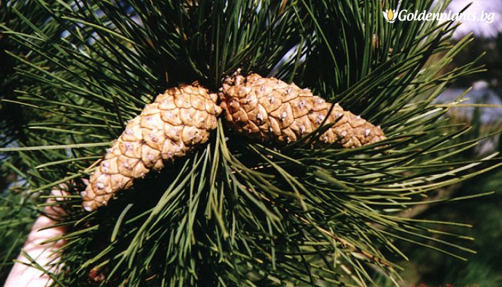 Снимка Черен бор 25-30 см - 2 годишен / Pinus nigra /