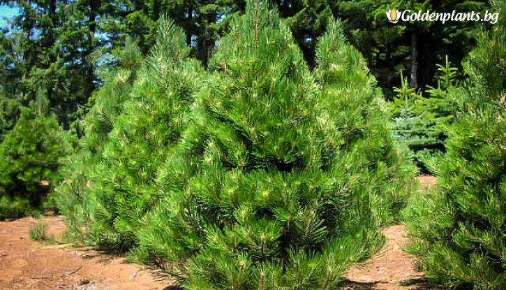 Снимка Черен бор 25-30 см / 2 годишен / Pinus nigra /