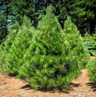 Черен бор 25-30 см / 2 годишен / Pinus nigra /...