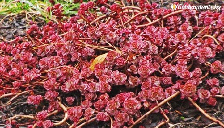 Снимка Седум red carpet  червен / Sedum red carpet