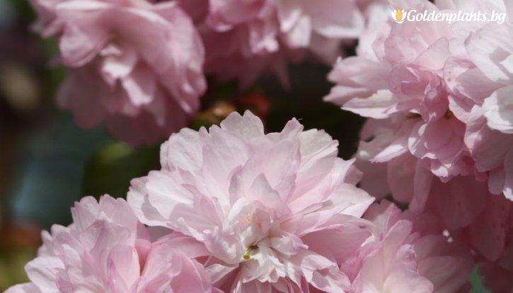 """Снимка Японска вишна сорт """"Кику-Шидаре-Сакура"""""""