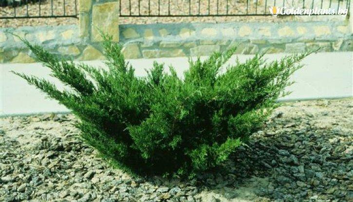 Снимка Сабина зелена / Миризлива хвойна / Juniperus Sabina /