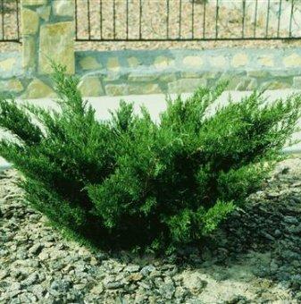 Сабина зелена / Миризлива хвойна / Juniperus Sabina /..