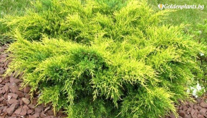 Снимка Юниперус Олд Голд / Juniperus Old Gold /