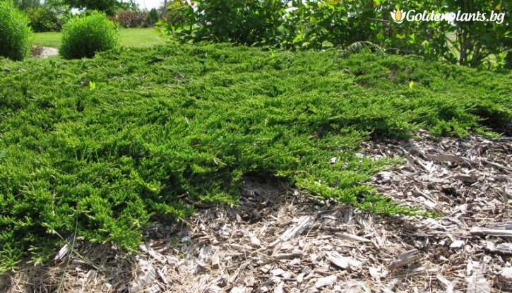 Снимка Хвойна Принца на Уелс / Juniperus horizontalis Prince of Wales /