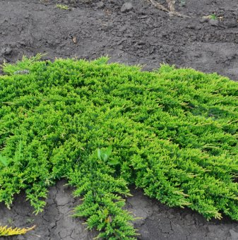 Хвойна Принца на Уелс / Juniperus horizontalis Prince of Wales /..