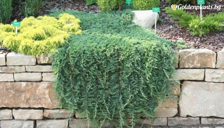 Снимка Хвойна Glauca  / Juniperus horizontalis Glauca /