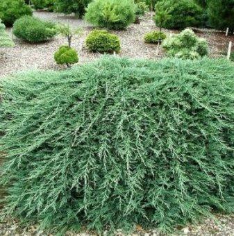 Хвойна Glauca  / Juniperus horizontalis Glauca /