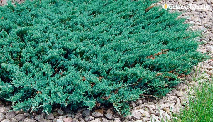 Снимка Юниперус Блу чип / Juniperus Blue Chip /
