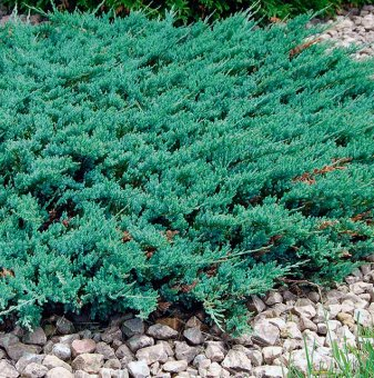 Юниперус Блу чип / Juniperus Blue Chip /