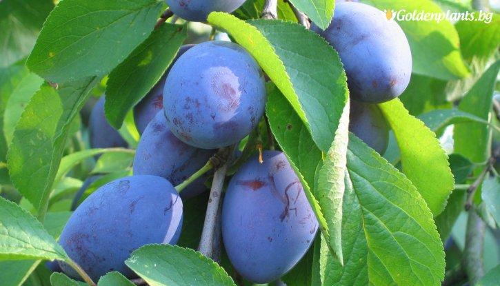 Снимка Синя слива сорт Стенлей 140-160 см.