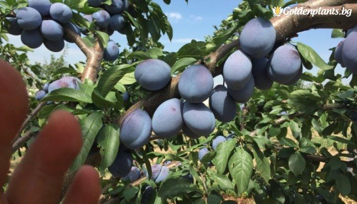 Снимка Синя слива сорт Йо Йо