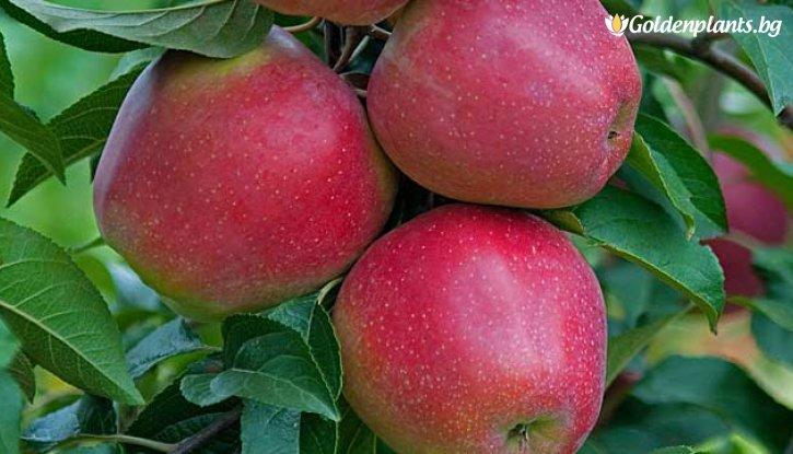 Снимка Ябълка сорт Глостър 140-160 см.