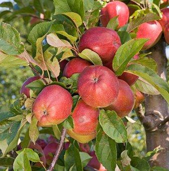 Ябълка сорт Глостър 140-160 см....