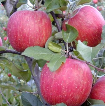 Ябълка сорт Флорина...