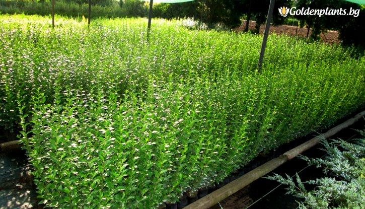 Снимка Лигуструм вечнозелен 40-60 см /Ligustrum Ovalifolium/ на гол корен