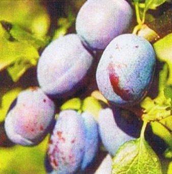 Синя Слива сорт Чачанска Найболя 140-160 см....