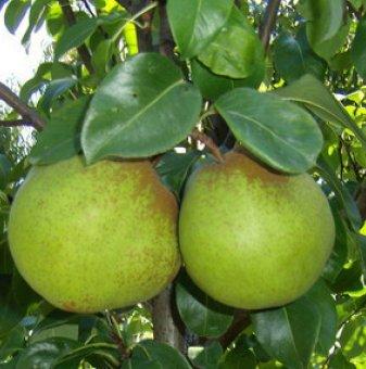 Круша сорт  Пас Красан /Pear Pas Kresan/...