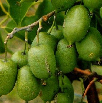 Киви 30-60 см. / actinidia arguta issai /