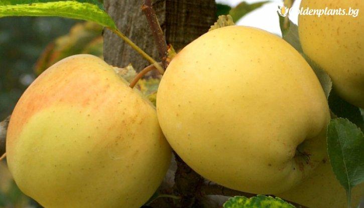 Снимка Ябълка Златна Превъзходна  140-160 см.