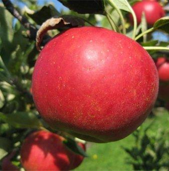 Ябълка сорт Демократ...