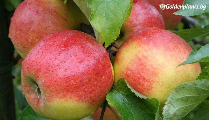 Снимка Ябълка сорт Джонаголд