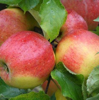 Ябълка сорт Джонаголд ...