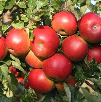 Снимка Ябълка сорт Aйда Ред 140-160 см....