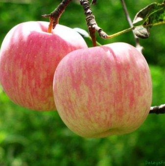 Ябълка сорт Фуджи 80-100 см. в контейнер