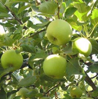 Снимка Ябълка сорт Муцу 140-160 см....
