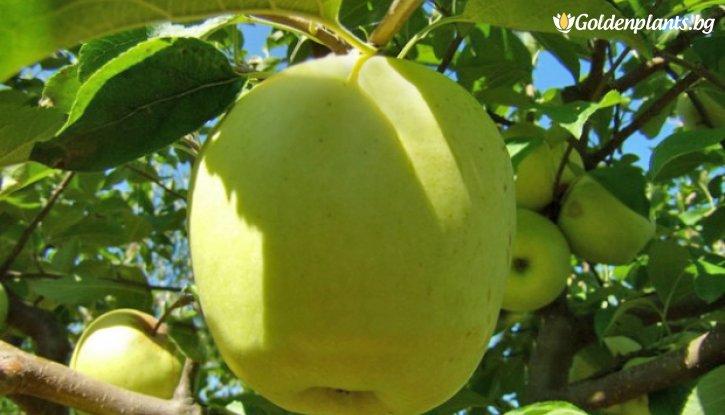 Снимка Ябълка сорт Муцу /Apple Mutsu/