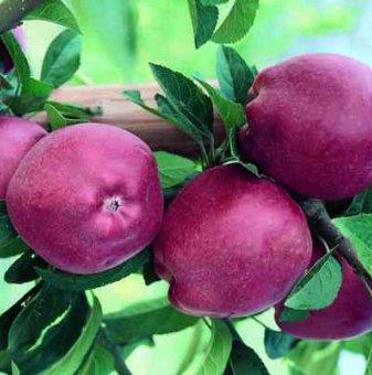 Ябълка сорт Старкримсон