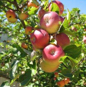 Ябълка сорт Цар Александър 140-160 см....