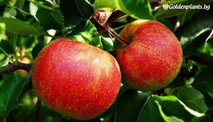 Снимка Ябълка сорт Джонатан