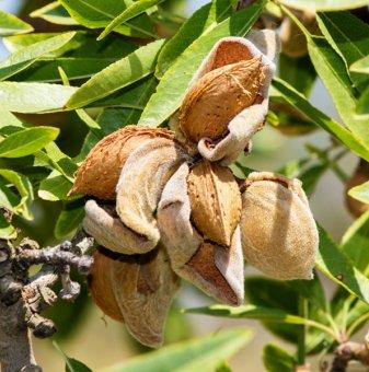 Бадем сорт Аспарух