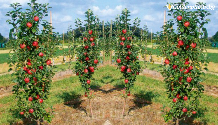 Снимка Колонна ябълка червена в контейнер