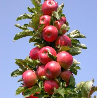 Колонна ябълка червена в контейнер...