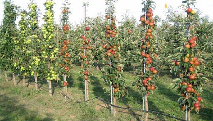 Снимка Колонна ябълка шарена 100-140 см.