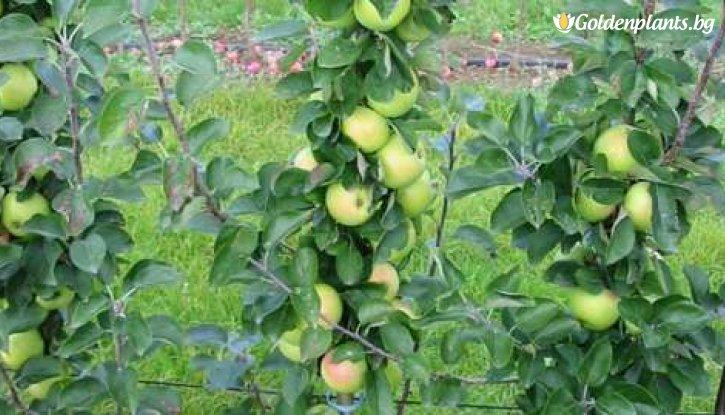 Снимка Колонна ябълка зелена
