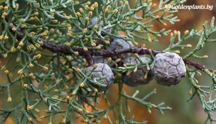 Снимка Аризонски кипарис / Cupressus Аrizonica / 40-60 см
