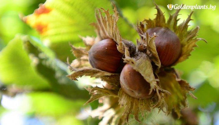 Снимка Лешник 40- 60 см /Corylus maxima/