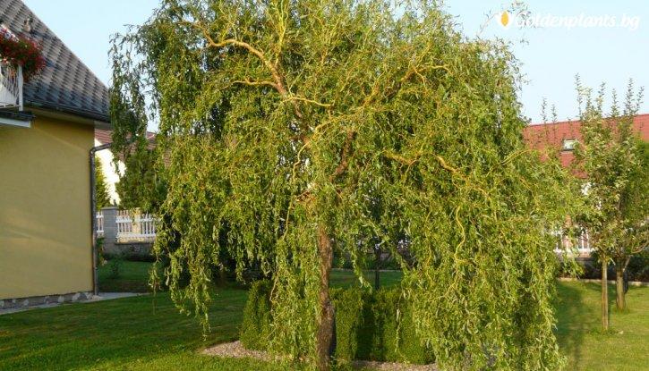 Снимка Декоративна Върба 120-140 см / Salix Tortuosa /