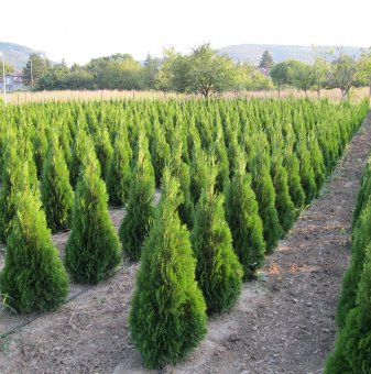 Туя смарагд 40-60 см / Thuja Occidentalis Smaragd /...