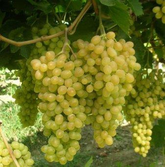 Снимка Лоза сорт Султанина - бял безсеменен десертен сорт грозде...