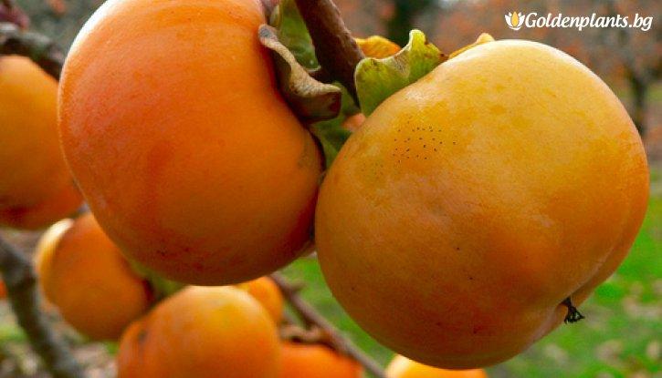 Снимка Райска ябълка / Malus diospyros /