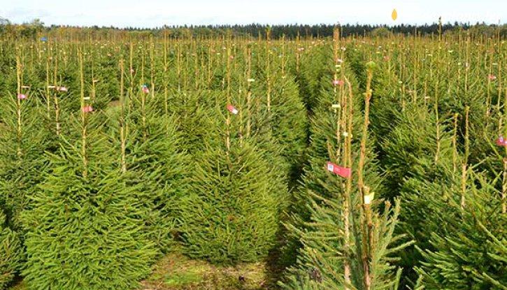 Снимка Коледно дръвче - Обикновен Зелен Смърч 100-120см. / Picea Abies /