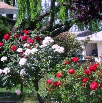 Снимка Бяло с червено щамбова роза - дърво...