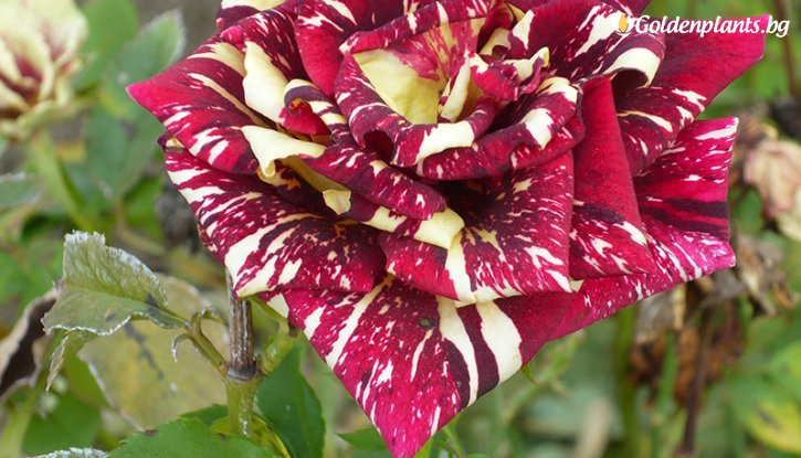 Снимка Червено с жълто щамбова роза - дърво / Абракадабра